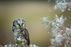 Boreal owl with fuzz down on straw - stock photo