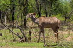 Kudu - stock photo