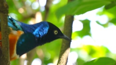 KL Bird Park - Golden Breasted Starling (Cosmopsarus Regius) On Tree Branch Stock Footage