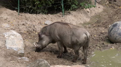 Warthog standing in mud 4k Stock Footage