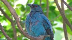 KL Bird Park - Dendang Gajah Or Asian Fairy Bluebird (Irena Puell) On Tree Arkistovideo