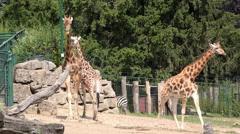Giraffe family at zoo 4k Stock Footage