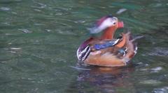 KL Bird Park - Wood Duck (Aix sponsa) Drakes Grooming Itself In Pond Stock Footage