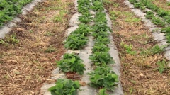 Pan Shot From One Furrow To The Rows Of Young Strawberry Field Stock Footage