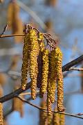 Alder catkins closeup. Spring background Stock Photos