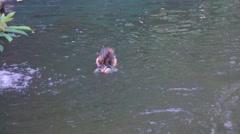 KL Bird Park - Wood Duck (Aix sponsa) Drakes Swimming, Camera Pan Follow Stock Footage