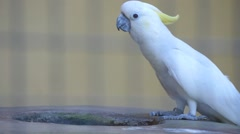 KL Bird Park - Yellow Sulphur Crested Cockatoo Feeding From Bowl Stock Footage