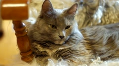 Cat resting on fluffy sheepskin closeup Stock Footage