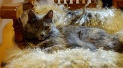 Pussy cat lying on sheepskin full HD Stock Footage