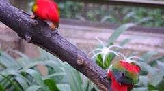 KL Bird Park - Australian King Parrot (Alisterus Scapularis) Stock Footage