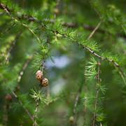 Relaxing larch greenery: closeup of European larch (Larix decidu - stock photo