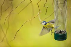 Tiny Blue tit flying away from a feeder in a garden after graspi Stock Photos