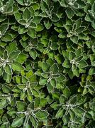 Green Leaves with White Outlines - stock photo