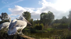 Pelican Family in Nature in Zoo Stock Footage