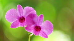 Zooming video of orchid tropical flower in nature background. Thailand - stock footage