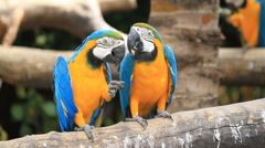 Love macaw birds - stock footage