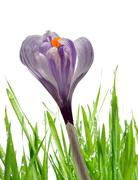 Stock Photo of Crocus flower with dewy green grass
