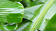 Rainy season in tropical forest. Banana leaves wet from monsoon rain Stock Footage
