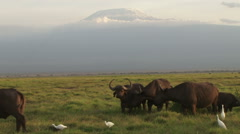 Buffalos eating with egrets under the shadows of kilimanjaro Stock Footage