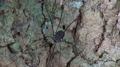 Long Legged Spider - Macro Stock Footage