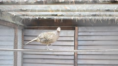 Stock Video Footage of Phasianus colchicus. Female common pheasant walks on perch