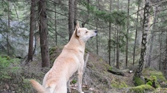 Dog sniffs air in a mountainous forest and runs away Stock Footage