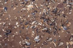 Clam shells in the sand Stock Photos