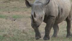 Close up of a black rhino facing the camera Stock Footage
