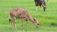 Sika deer fawn eating grass Stock Footage