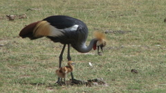 Crown crane and her baby looking for worms in dung Stock Footage