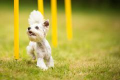 Cute little dog doing agility drill - running slalom, being obed Stock Photos