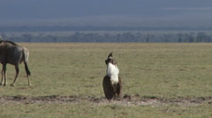 Kori bustard in breeding display 1 Stock Footage