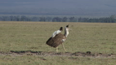 Kori bustard in breeding display 2 Stock Footage