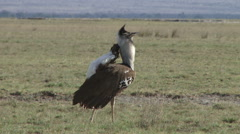 Kori bustard in breeding display 5 Stock Footage