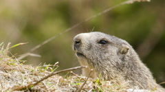 Groundhog close up - stock footage