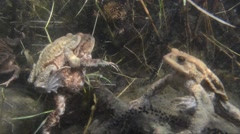Stock Video Footage of Toad, common Toad, underwater, anura, couple, coupling, close-up, close up,