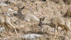 Stock Video Footage of Three roe deers , wildlife
