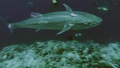 Under water shot of huge tuna fish at coral reef, Red Sea Stock Footage