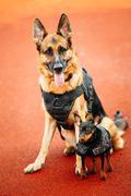 Brown German Sheepdog And Black Miniature Pinscher Pincher Sitti - stock photo