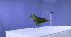 crow on blue screen - stock footage