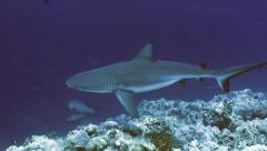 UHD underwater shot of shark cruising along coral reef, Palau Stock Footage