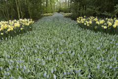 Path with grape hyacinth and daffodils Stock Photos