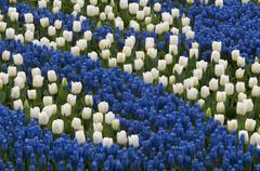 Blue hyacinth and white tulips Stock Photos