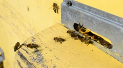 Worker bees on flight board at beehive entrance Stock Footage