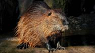 Stock Video Footage of Beaver Next To Lake With Sun Shimmering Off Coat