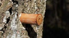 Drip of birch sap in early spring in forest Stock Footage