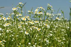 Flowering fleabane plants on meadow Stock Photos