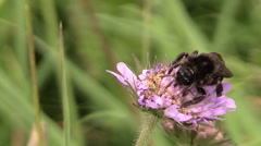 Bumblebee (Bombus) collect nectar from pink flower bloom Stock Footage