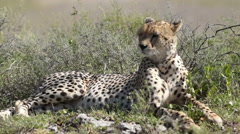ATTENTIVE CHEETAH - stock footage