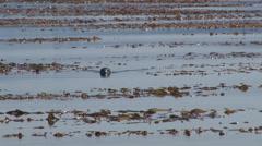 Seal seaweed Southeast Alaska Stock Footage